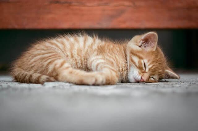 Cirurgia para testículo não descendente em gatos machos