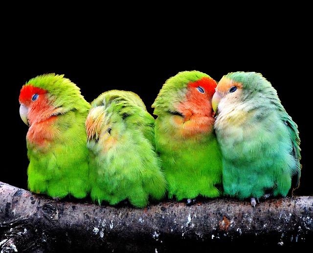 Cistos de penas em aves