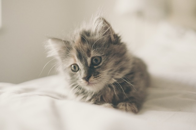 Coccidiose em gatos