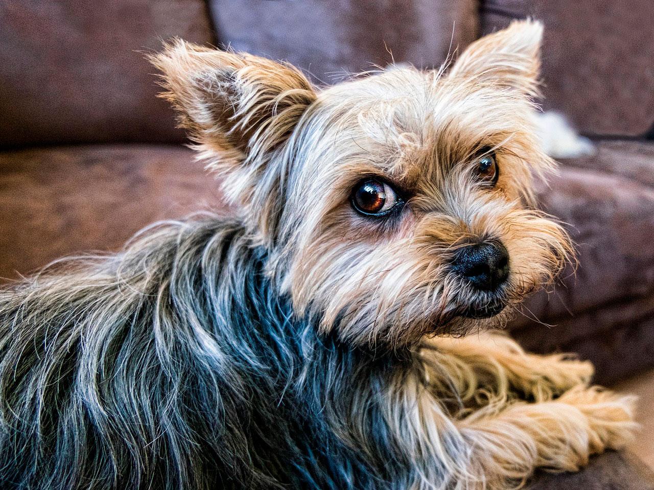 Comida Caseira Saudável para Yorkshire terrier
