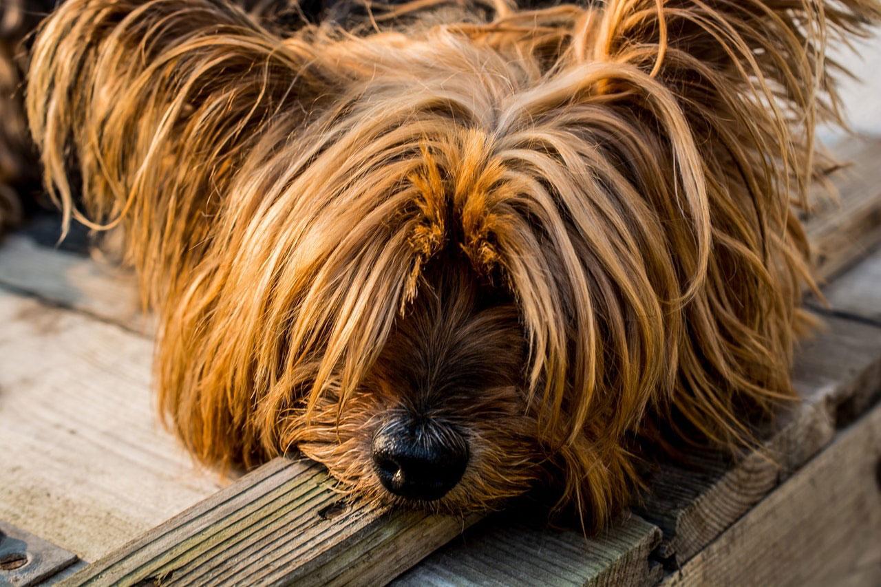 Como Acalmar um Yorkshire terrier Hiperativo