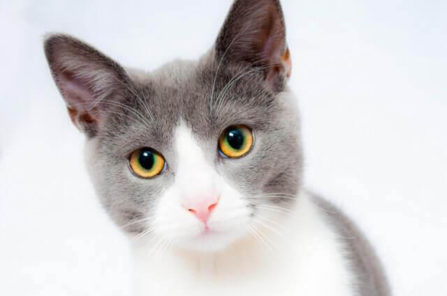 Como a Acupuntura pode ajudar o meu Gato?