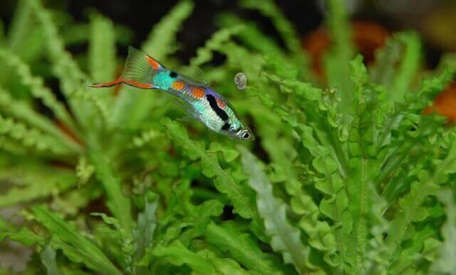 Como as algas afetam a química da água do aquário?