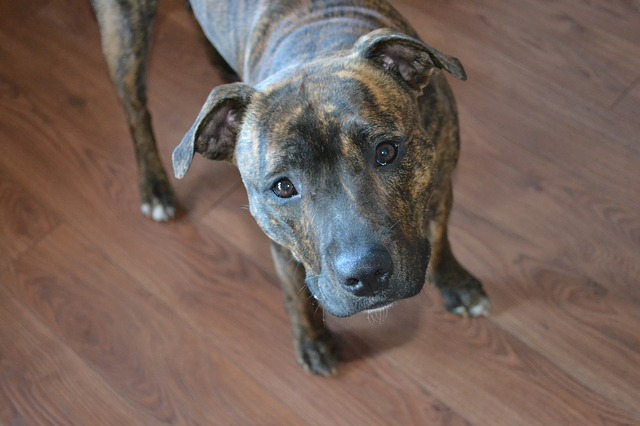 Como cuidar de cães da raça Bull Terrier Inglês
