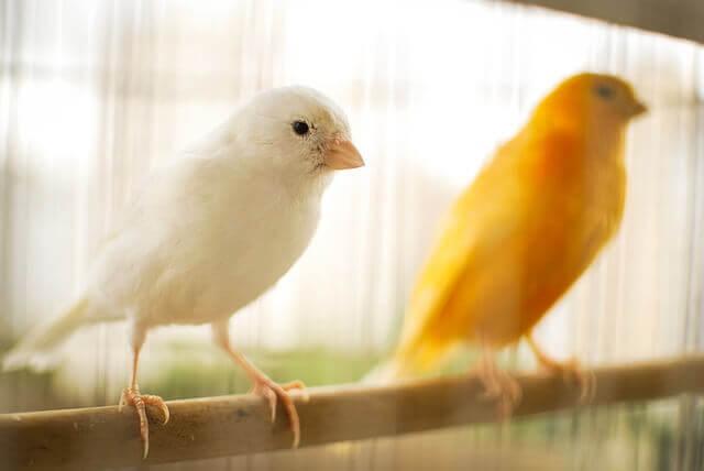 Como melhorar o canto do seu canário