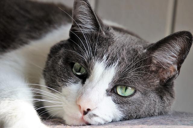 Como saber se seu gato está morrendo | Sintomas e Conselhos