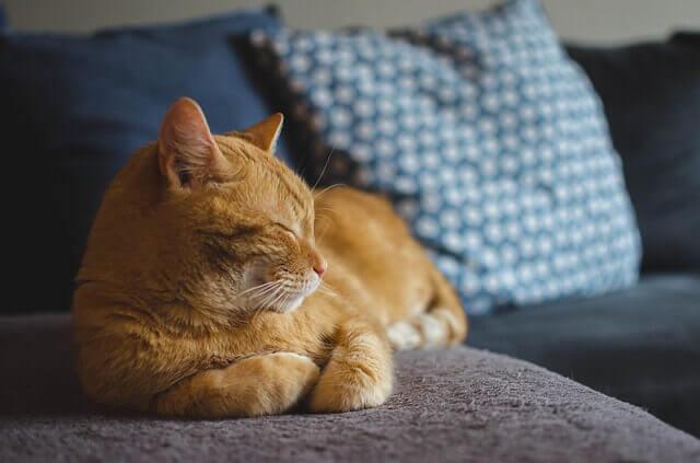 Como tratar os gatos com constipação