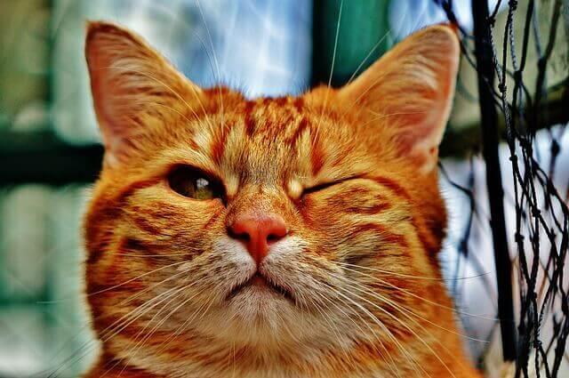 Como tratar pressão da cabeça em gatos