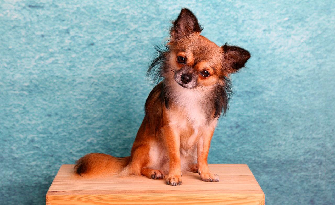 Como Treinar um Chihuahua