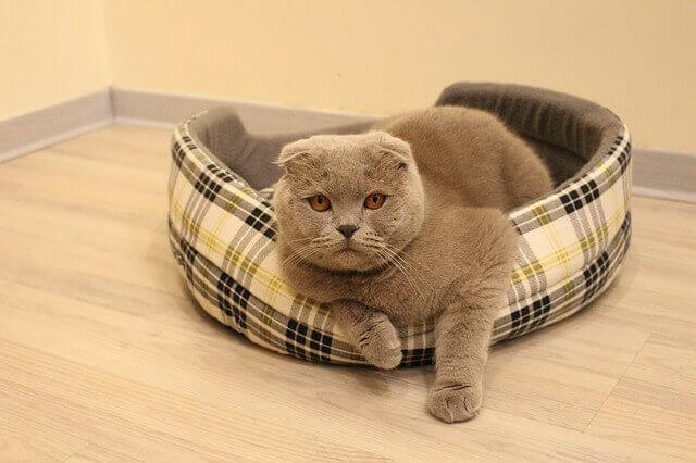 Como um gato fica com o fígado inflamado?