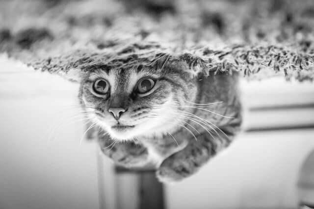 Congestão grave em gatos