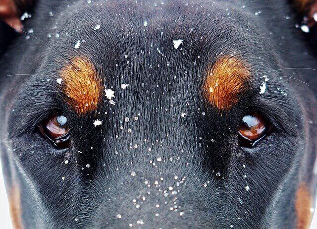 Conjuntivite em Cães - Causas e Sintomas