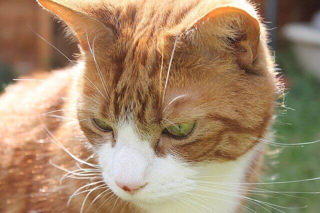 Conjuntivite em gato