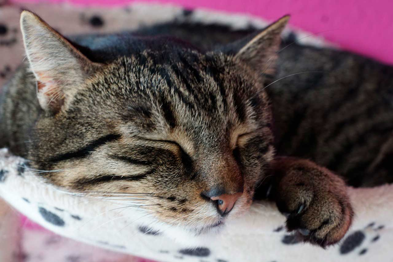 Coriorretinite em Gatos
