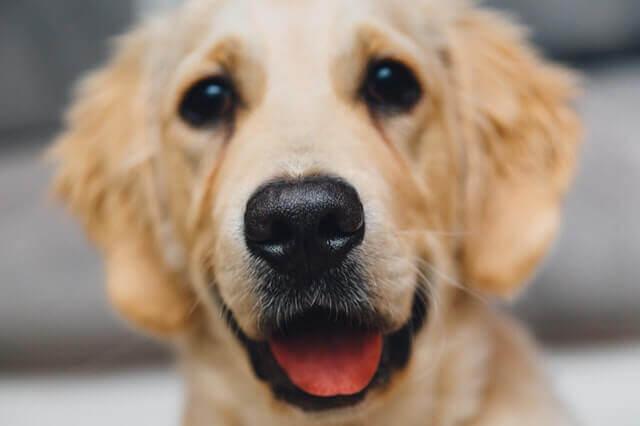 Corrimento nasal em cães