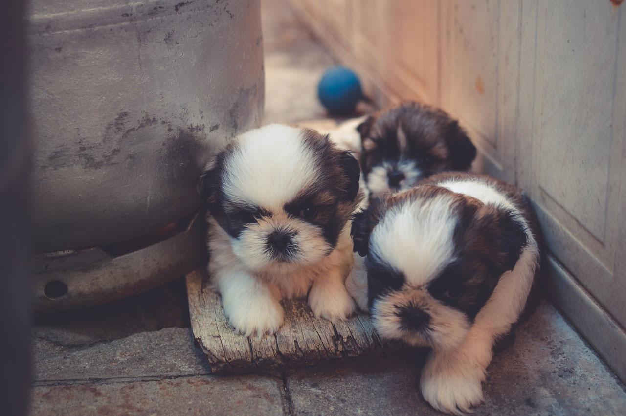 Crescimento atrasado em filhotes de cães | Principais Causas