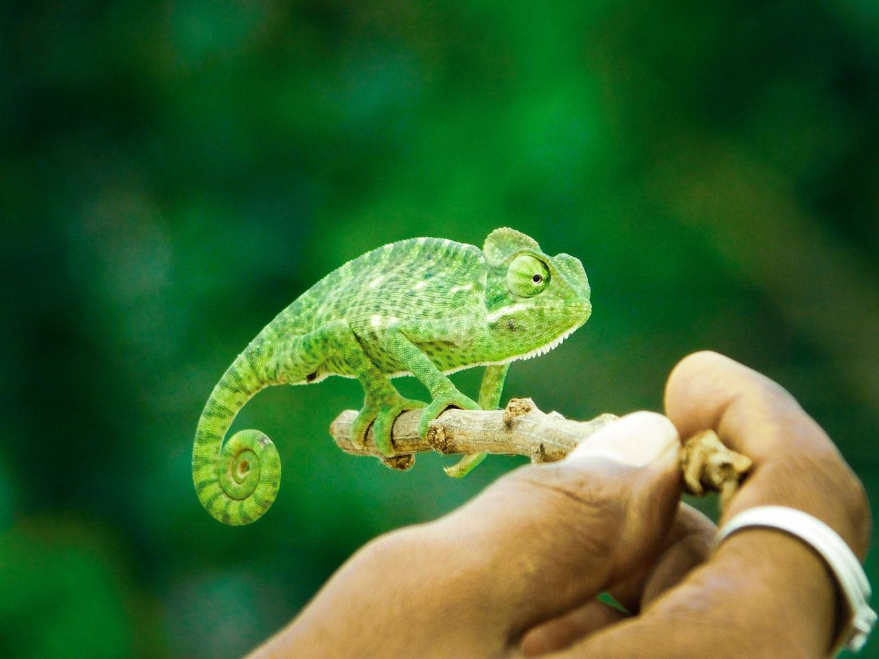 Como cuidar de camaleões de estimação