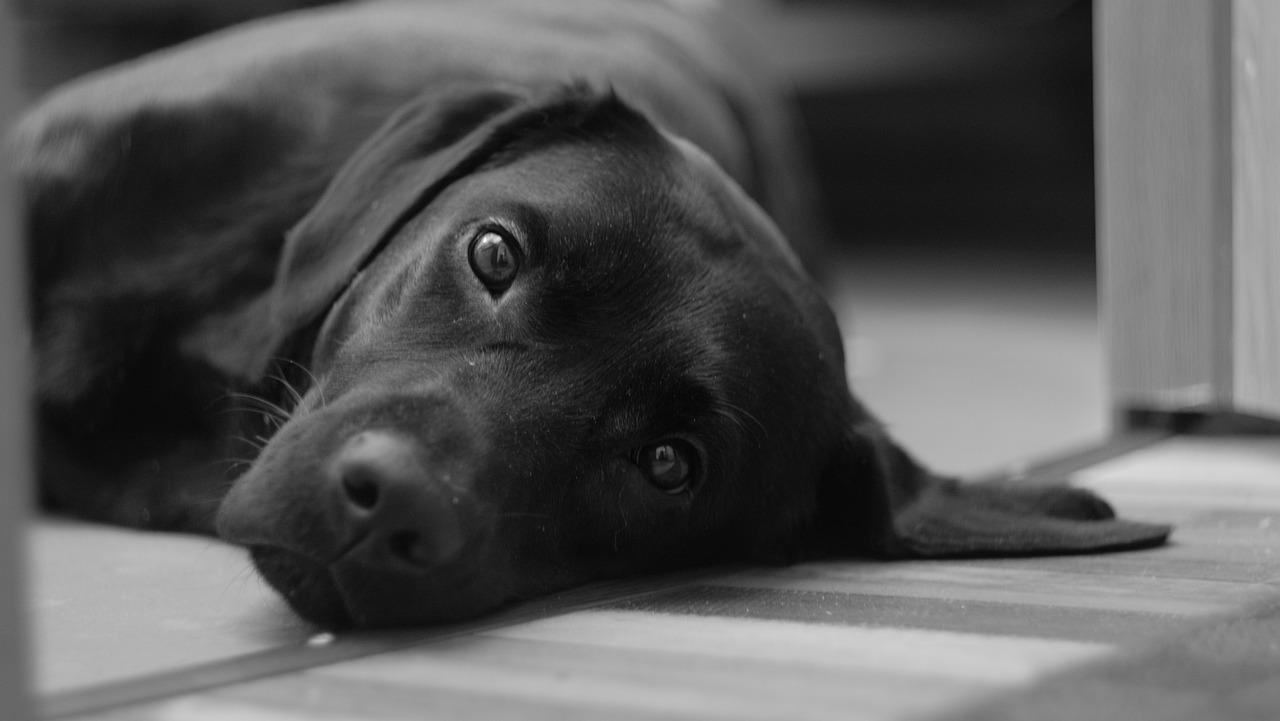 Cuidar de seu cão surdo | Dicas de comunicação e segurança