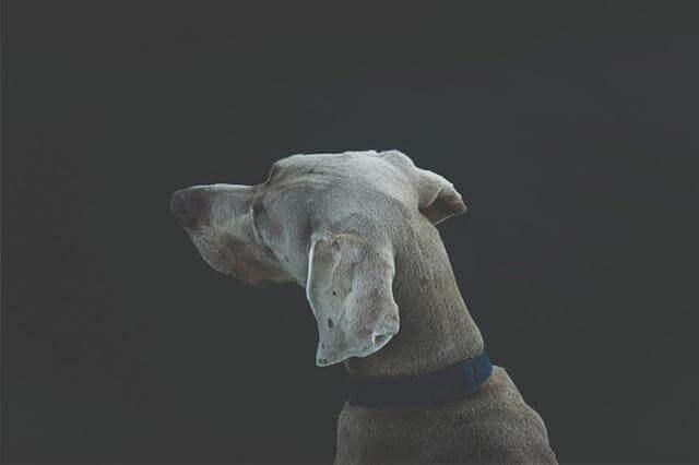 Como cuidar da orelha do meu cachorro