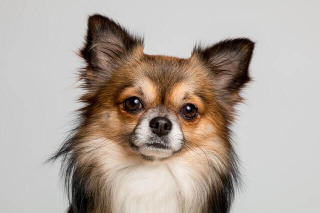 Deficiência de piruvato quinase em cães