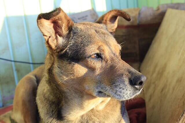 Degeneração da espinha em cães