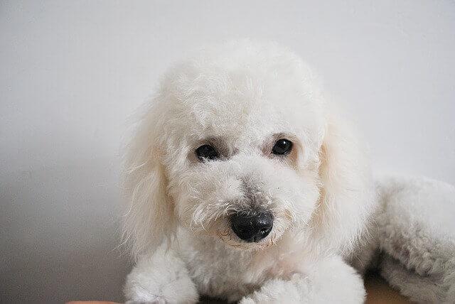 Depósitos de cálcio no trato urinário em cães
