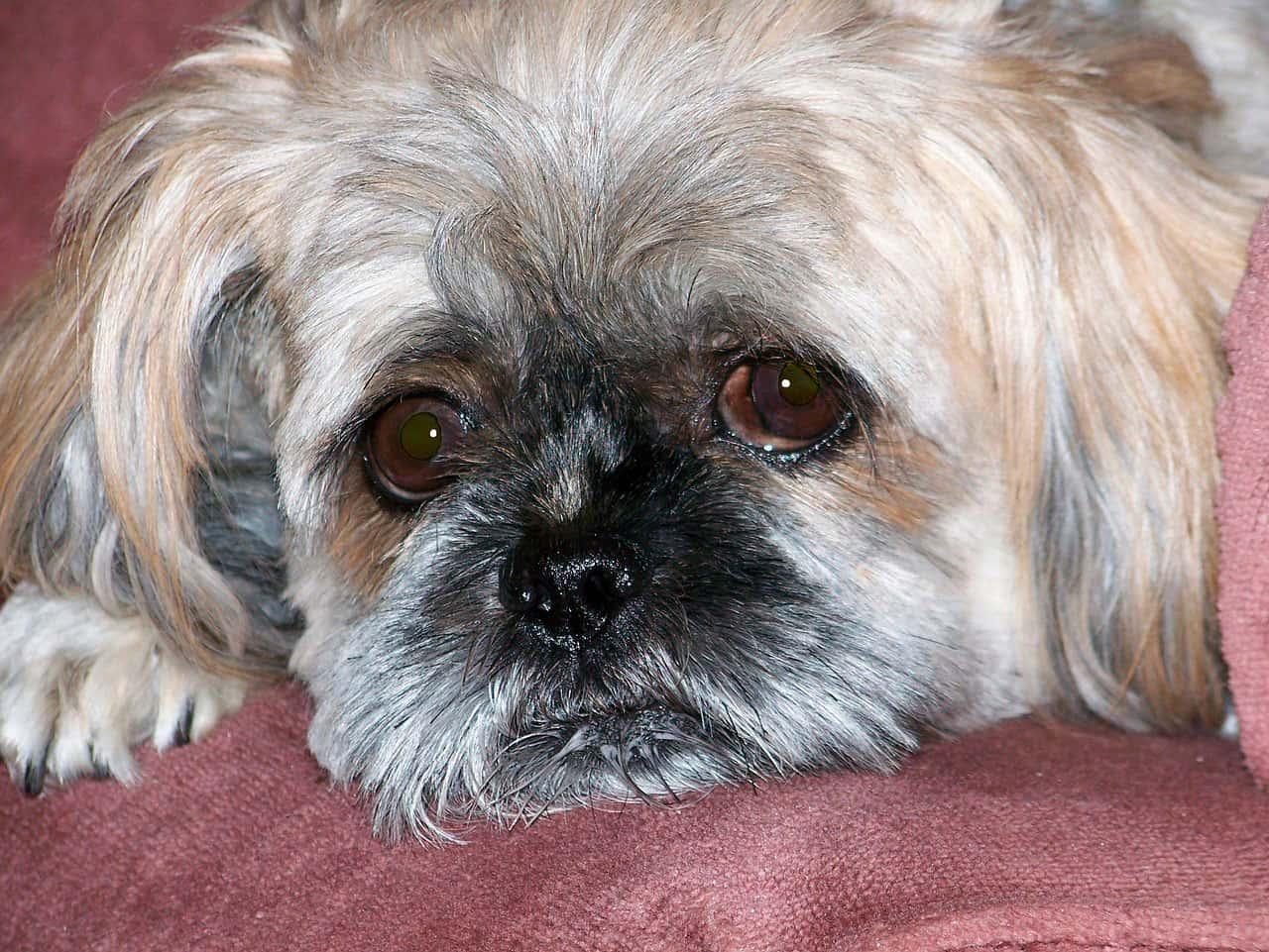Depressão em cães | Causas, Sintomas e Tratamento