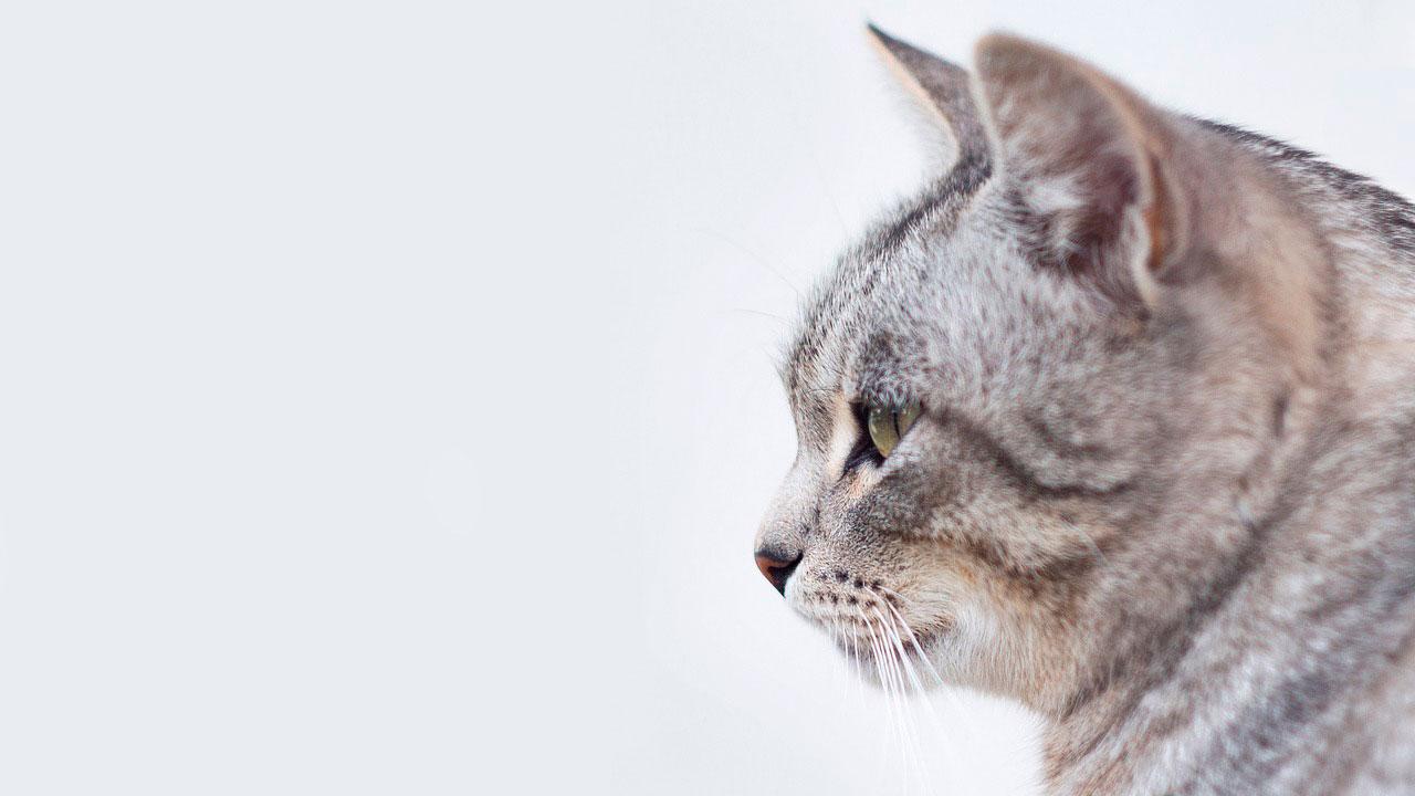 Depressão em gatos | Causas, Sintomas e Tratamento