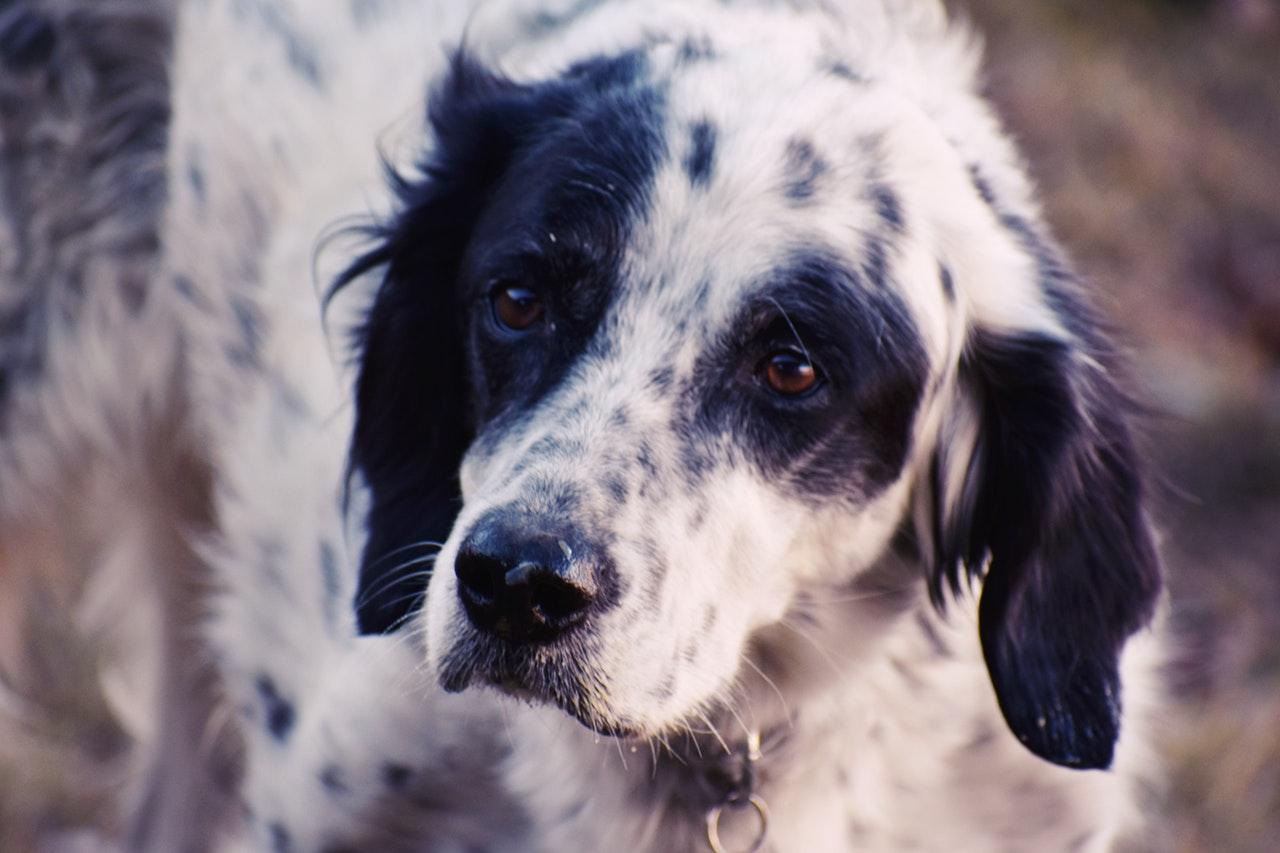 Dermatite atópica em cães relacionada ao alimento