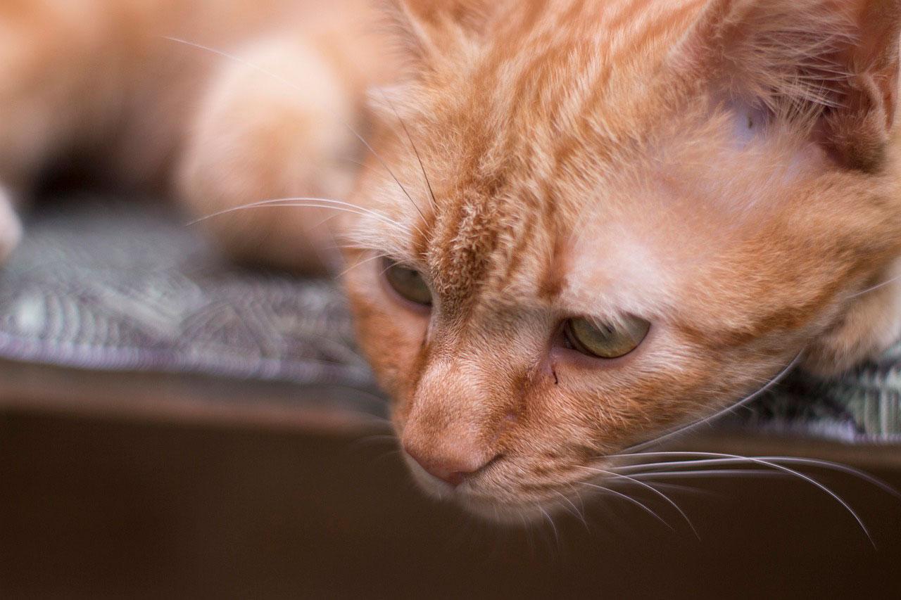 Dermatite miliária em gato | Causas, Sintomas e Tratamento