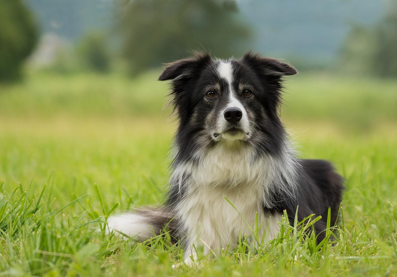 Dermatomiosite em cães | Causas e Sintomas