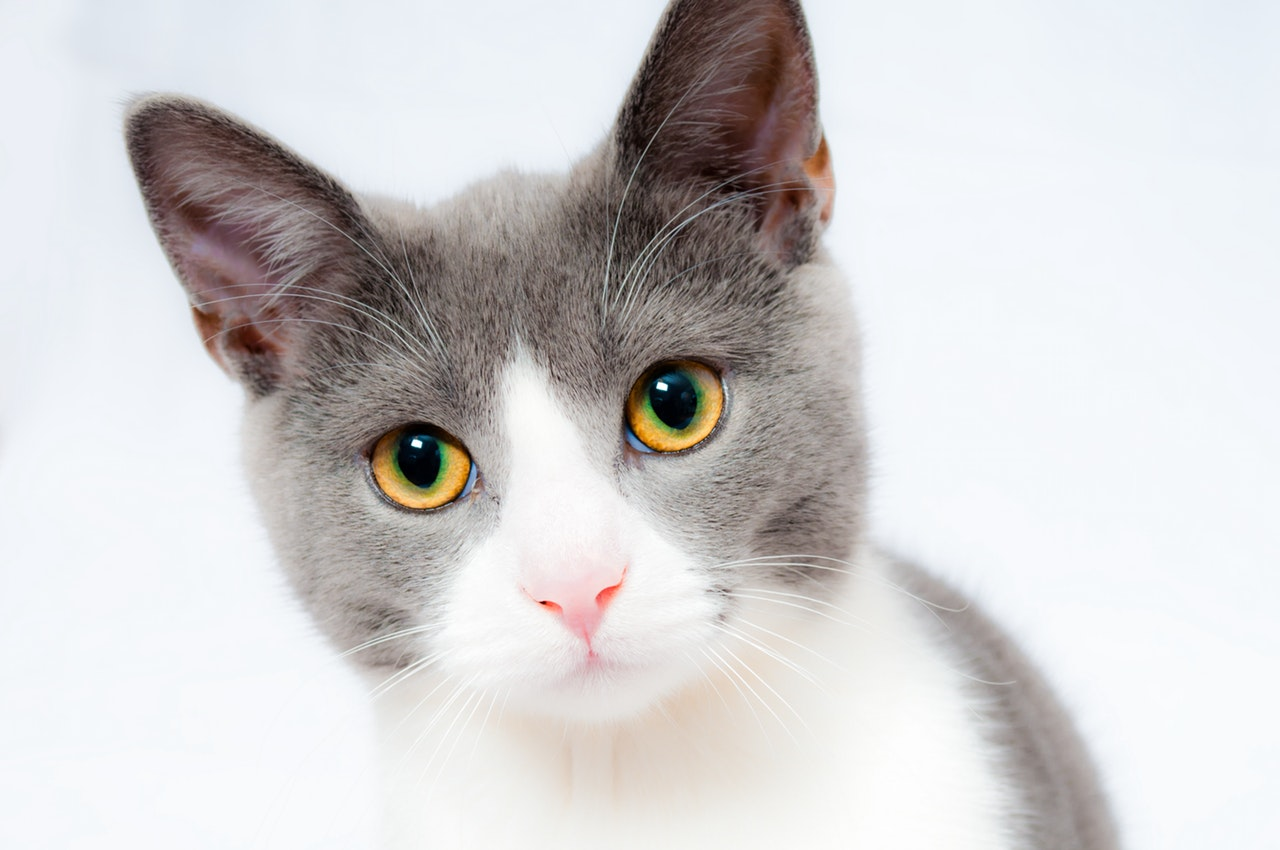 Derrame pleural em gatos | Causas, Sintomas e Tratamento