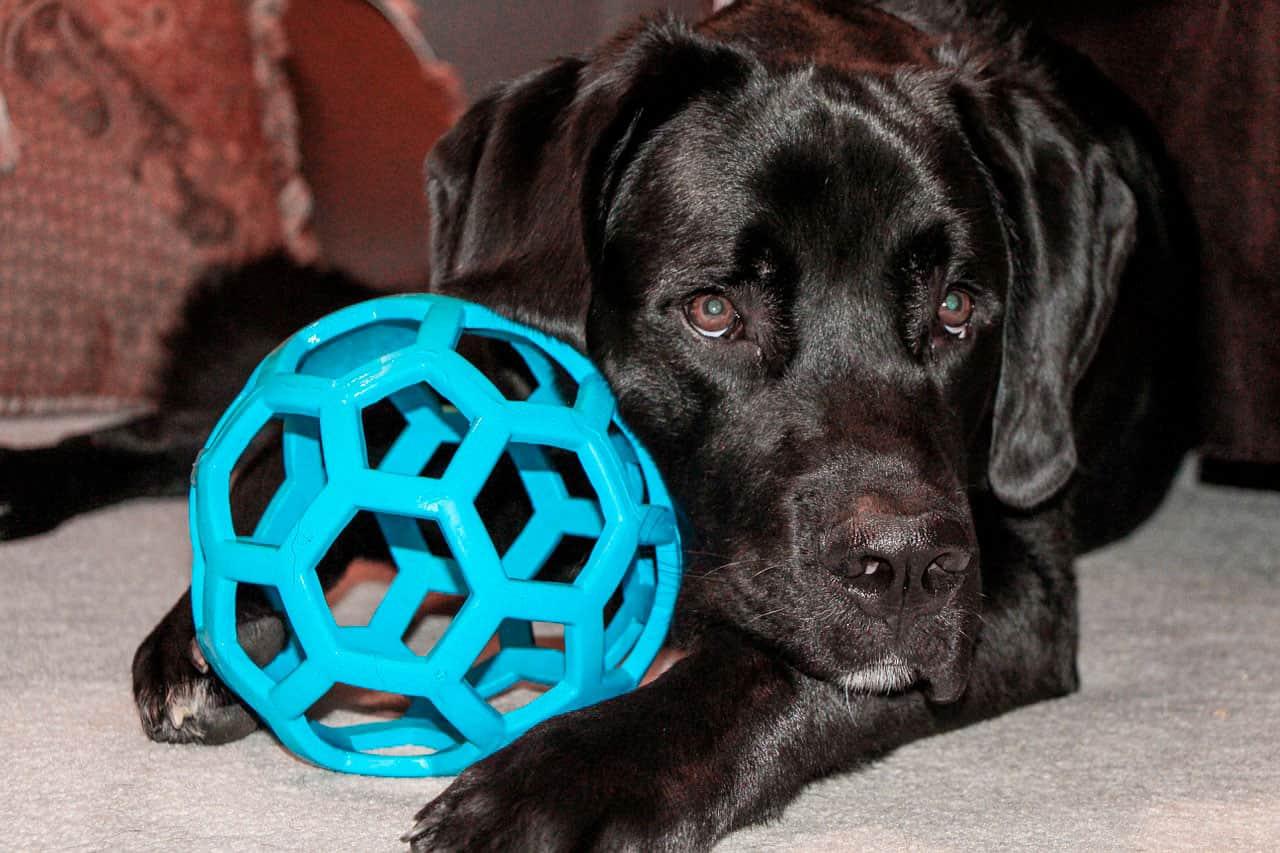 Diabetes com coma em cães | Causas, Sintomas e Tratamento