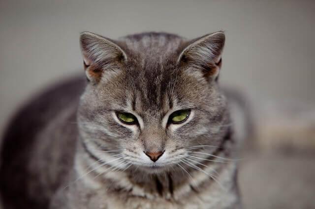 Diabetes em gatos mais velhos