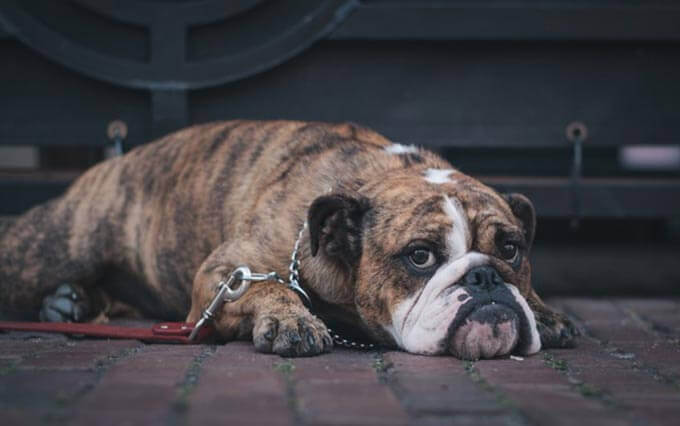Diabetes mellitus em cachorros