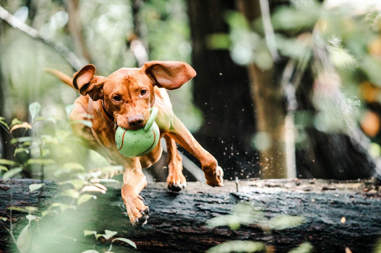 Dicas para o tratamento da osteoartrite nos cães
