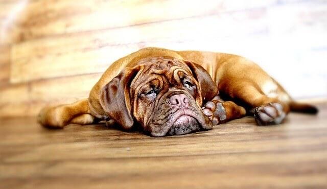 Diferença entre convulsões e acidente vascular cerebral em cães