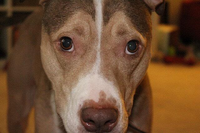 Dirofilariasis em cães (vermes em cães)