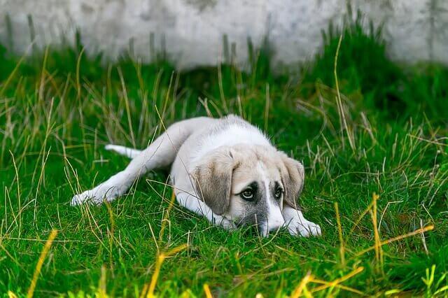 Discoespondilite em cães: infecção nas costas