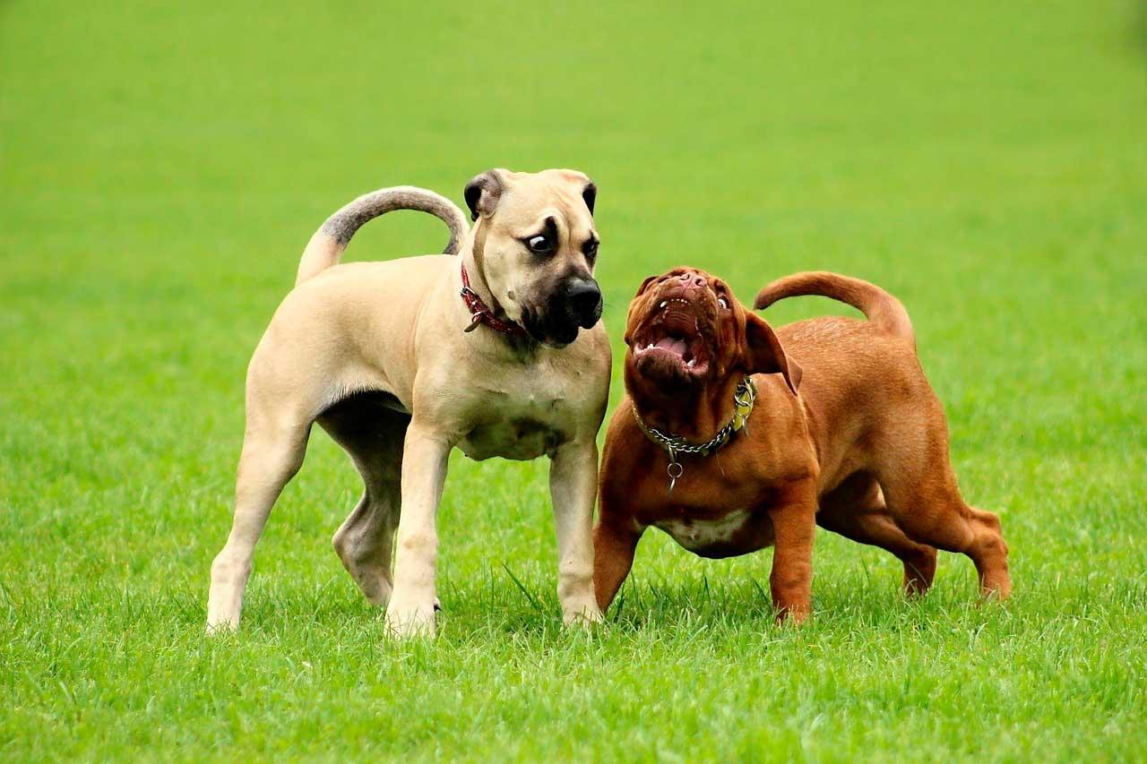 Displasia do cotovelo em cães