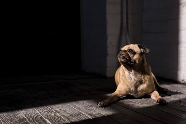 Displasia do Quadril em Animais de Estimação