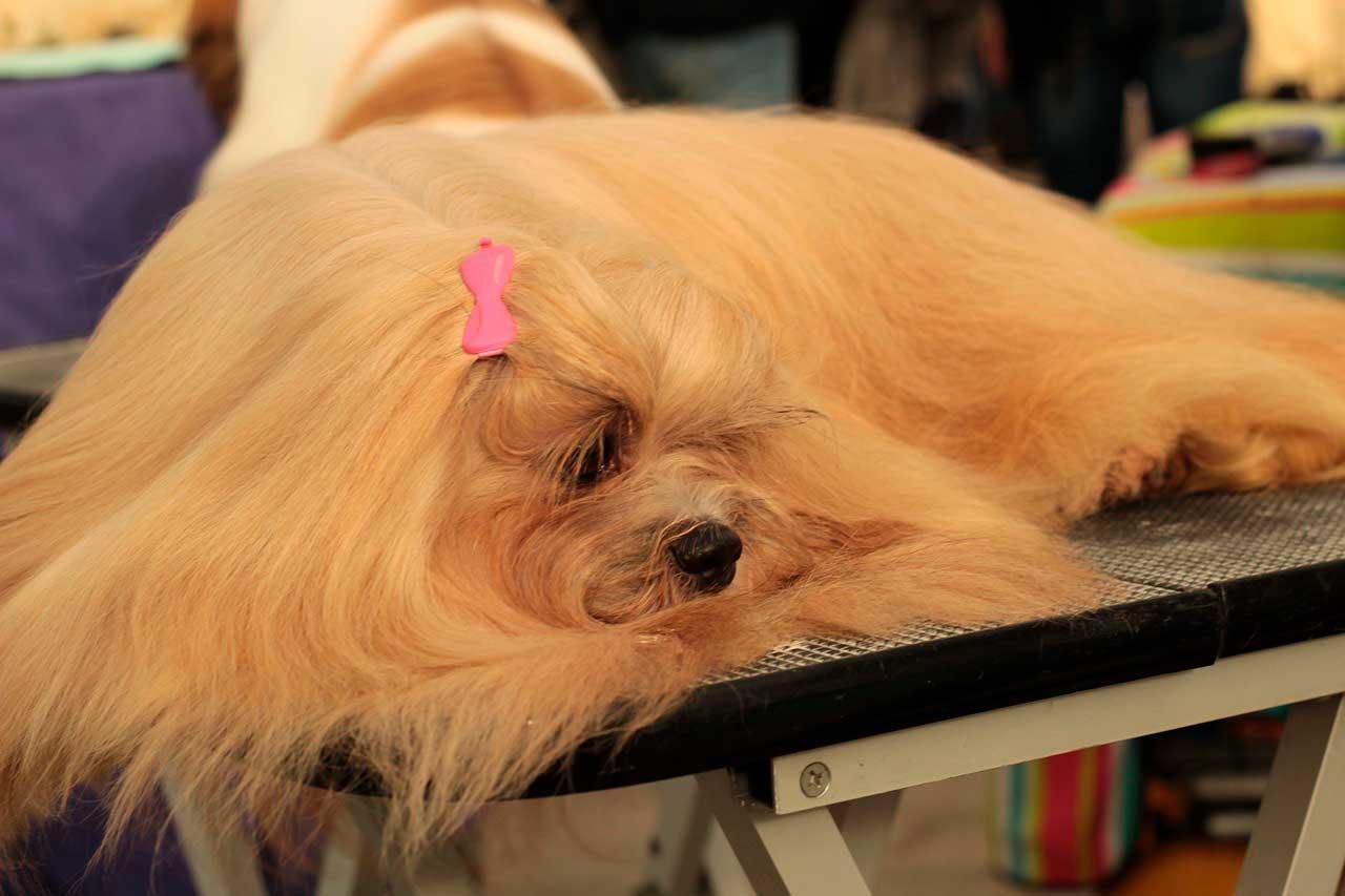 Distúrbios da pele no cão da raça Lhasa Apso