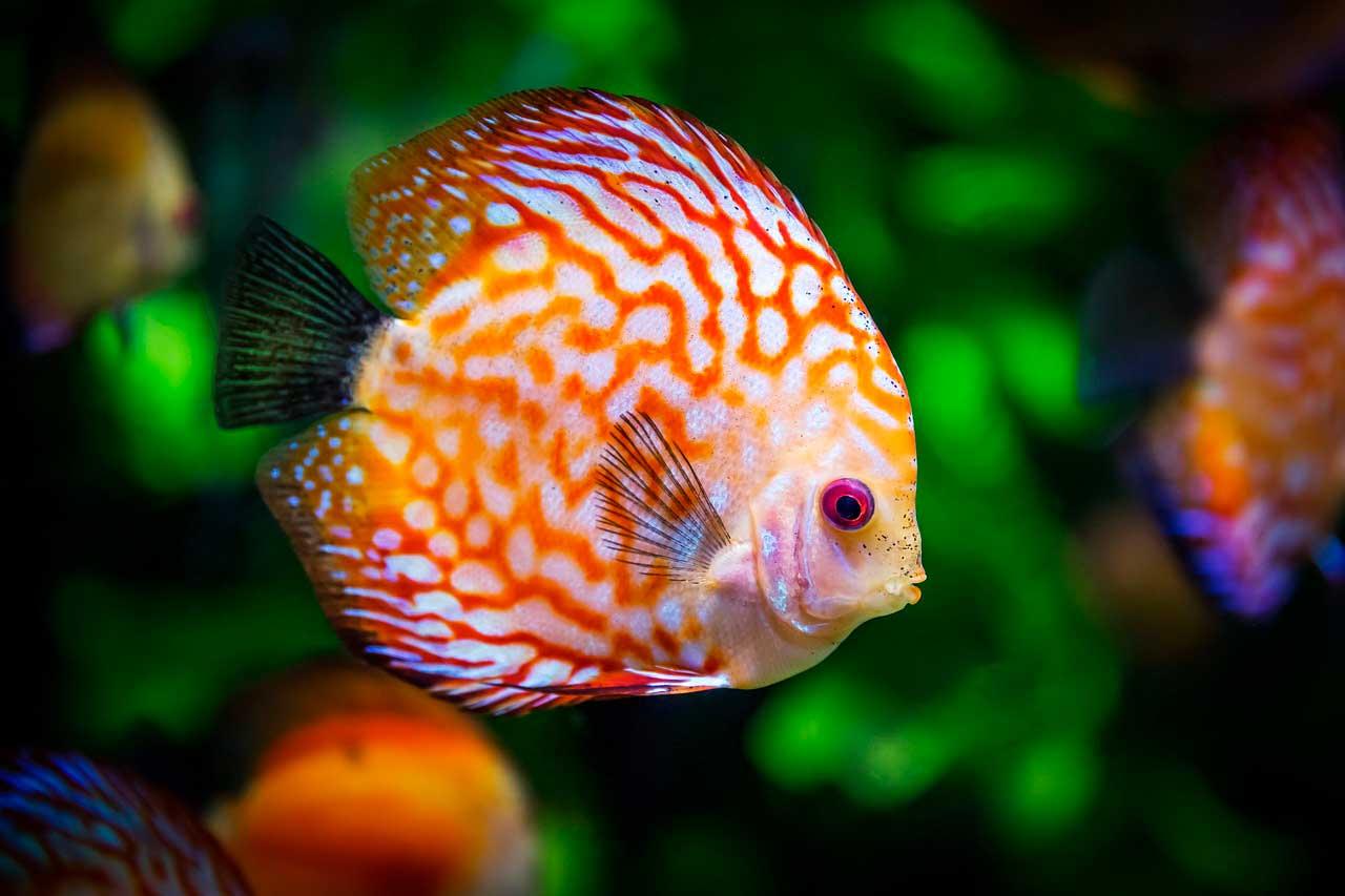 Doença da bolha do gás em peixes