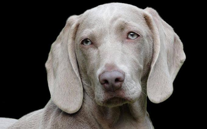 Doença cardíaca em cães
