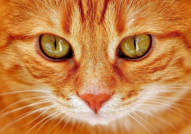Doença Cardíaca em Gatos