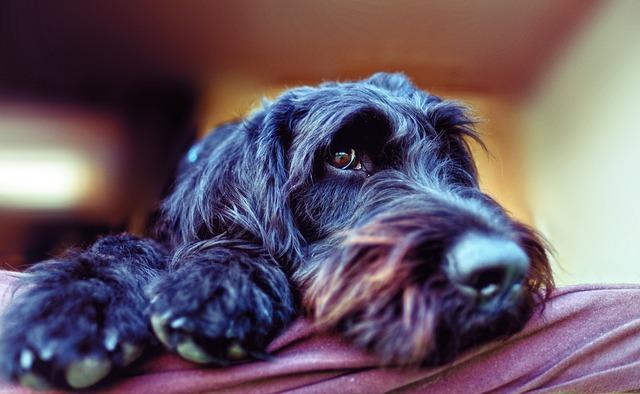 Doença de Addison em Poodles