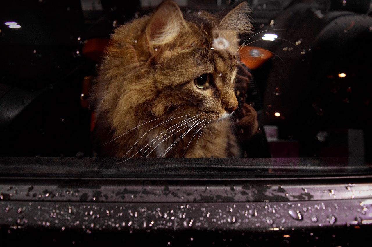 Doença do movimento em gato | Causas e Sintomas