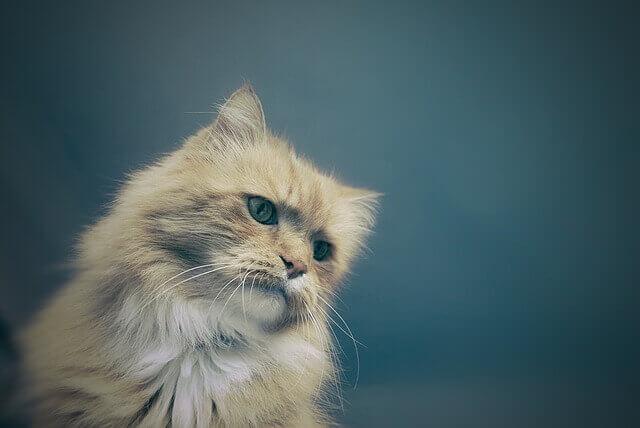 Doença do Trato Urinário Inferior em Gatos