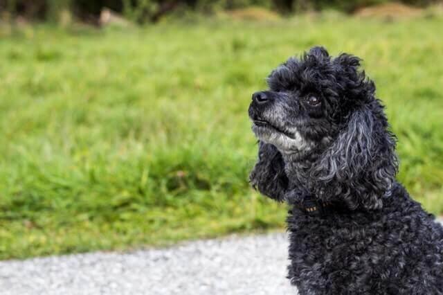 Doença da medula espinhal em cães
