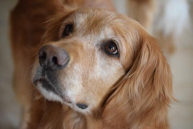 Doença muscular hereditária (Miopatia) em Labradores